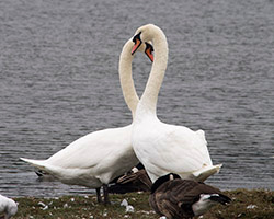 Mute Swan blog