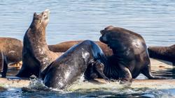 sea-lions1-blog