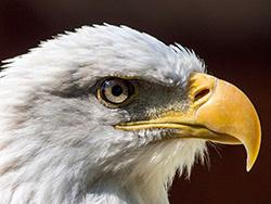 close up Bald Eagle blog